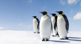 Penguins - BBC